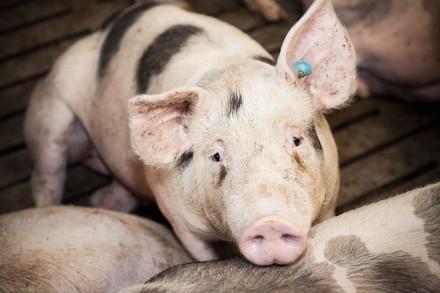 Schwein auf Vollspalten