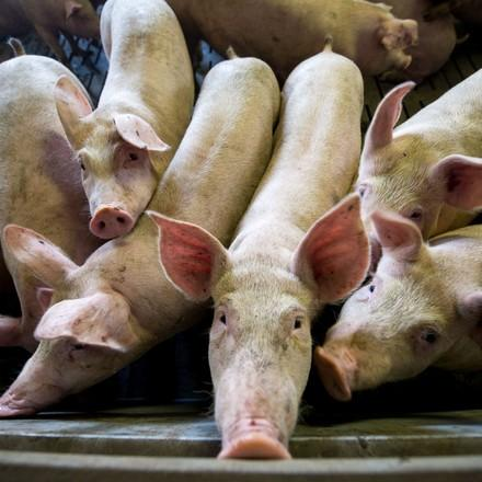 fotolia stock photo, Pigs at a factory. Farming in Russia   Fotolia stock photo, # -- , Size -- .   © Status: FP owns standard licence, no rights to give to externals