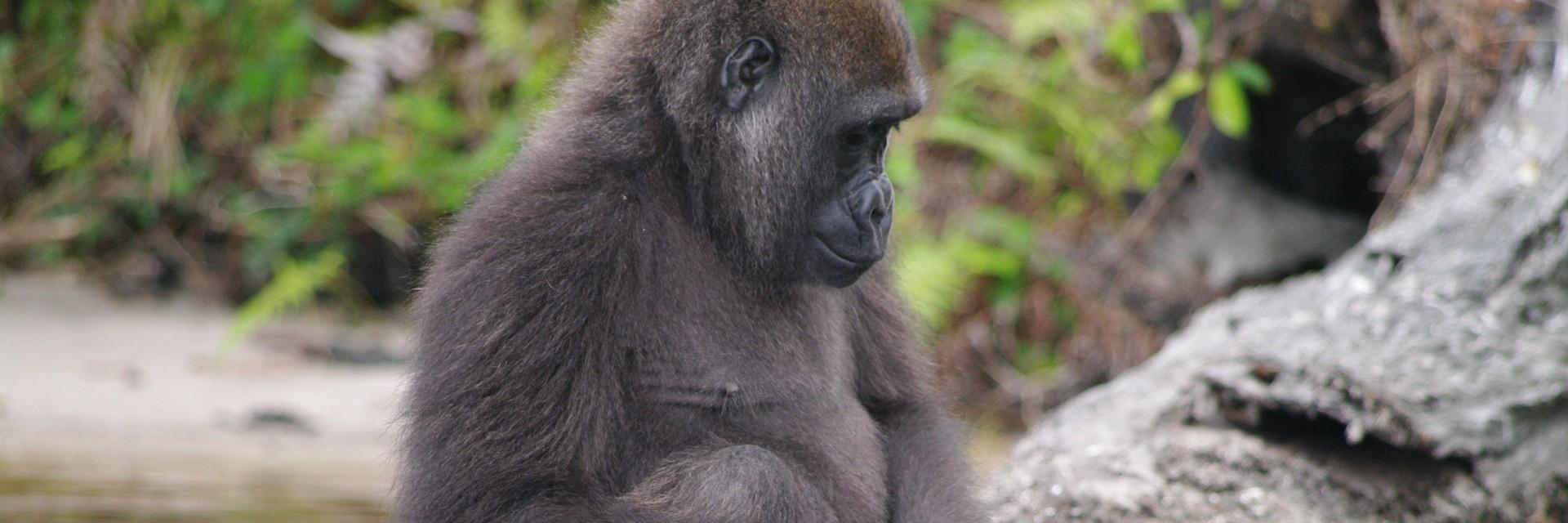 Gorilla playing with a stick