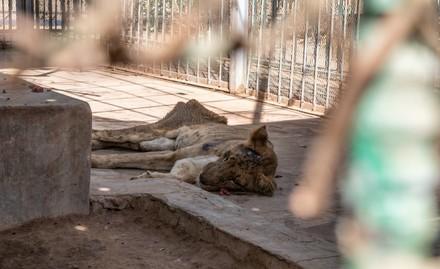 Starving Lion in Sudan