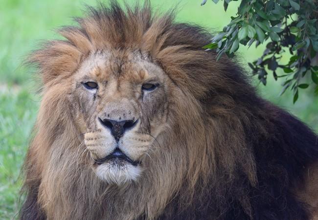 Leeuw Giovanni in LIONSROCK