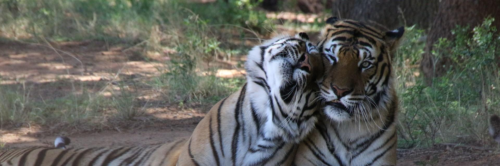 Rescued tigers in LIONSROCK