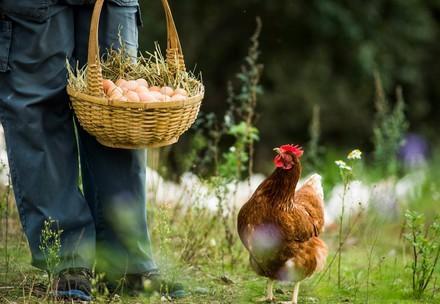 Henne in Freilandhaltung
