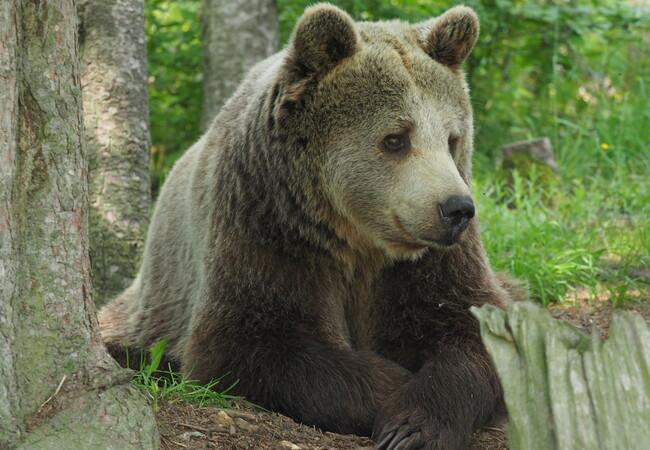 Bear Brumca