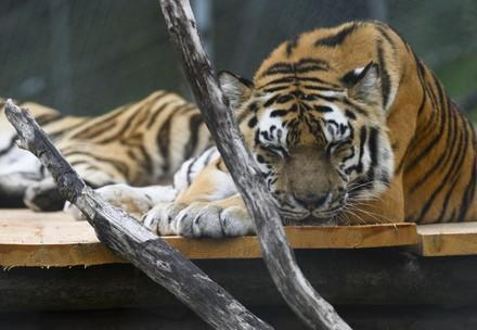 Tiger Jill
