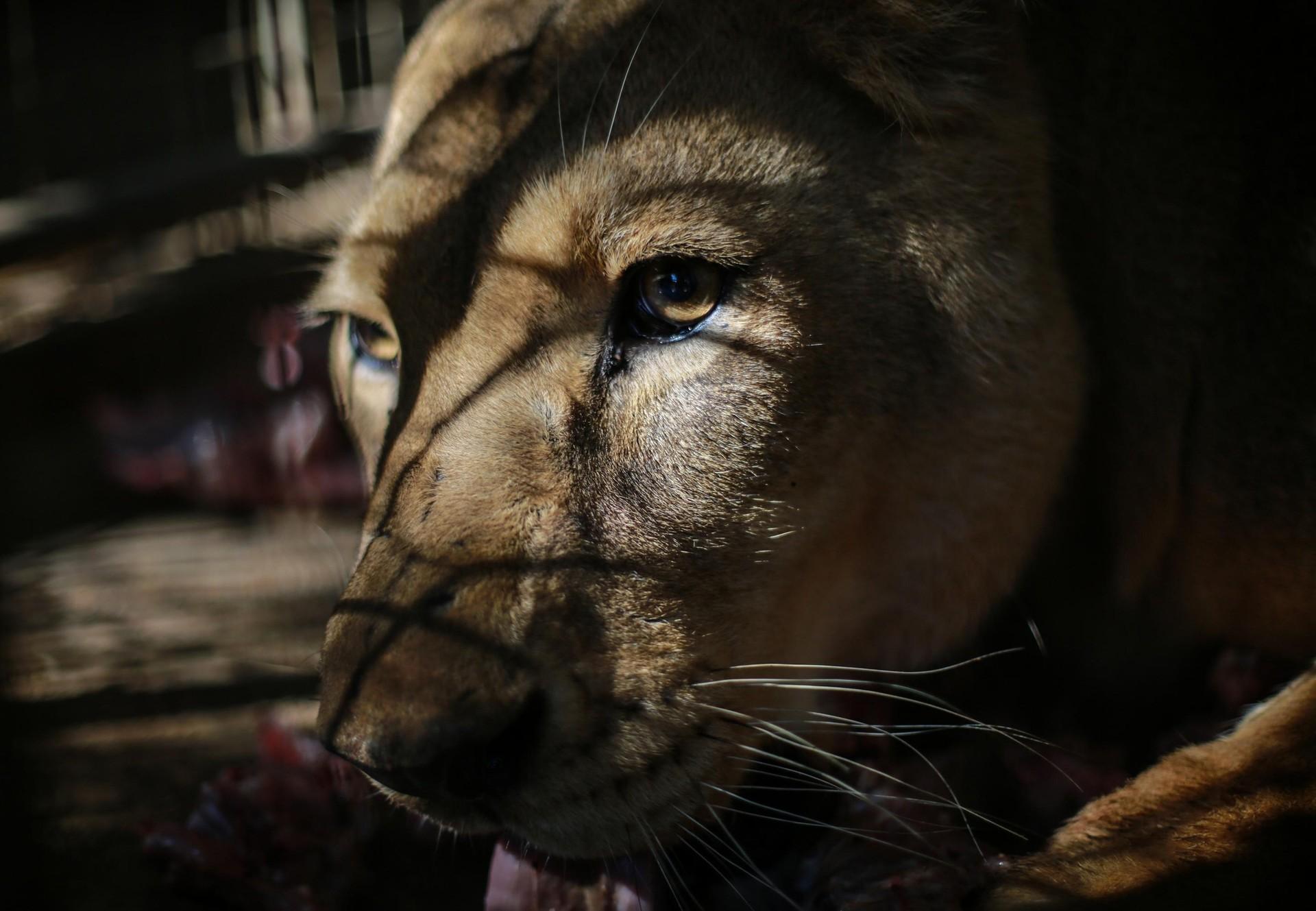 Leeuw in nood