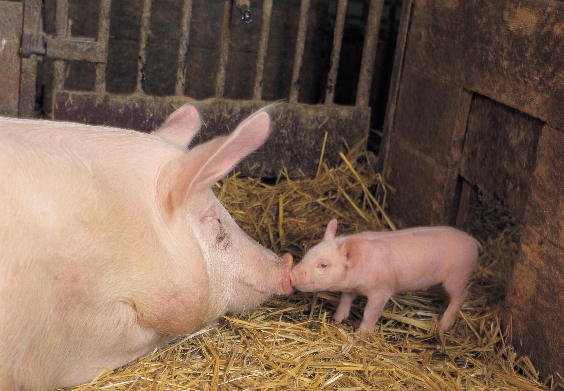 Les porcs ont des besoins fondamentaux à respecter