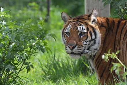 Tiger in einem Tierschutzzentrum von VIER PFOTEN
