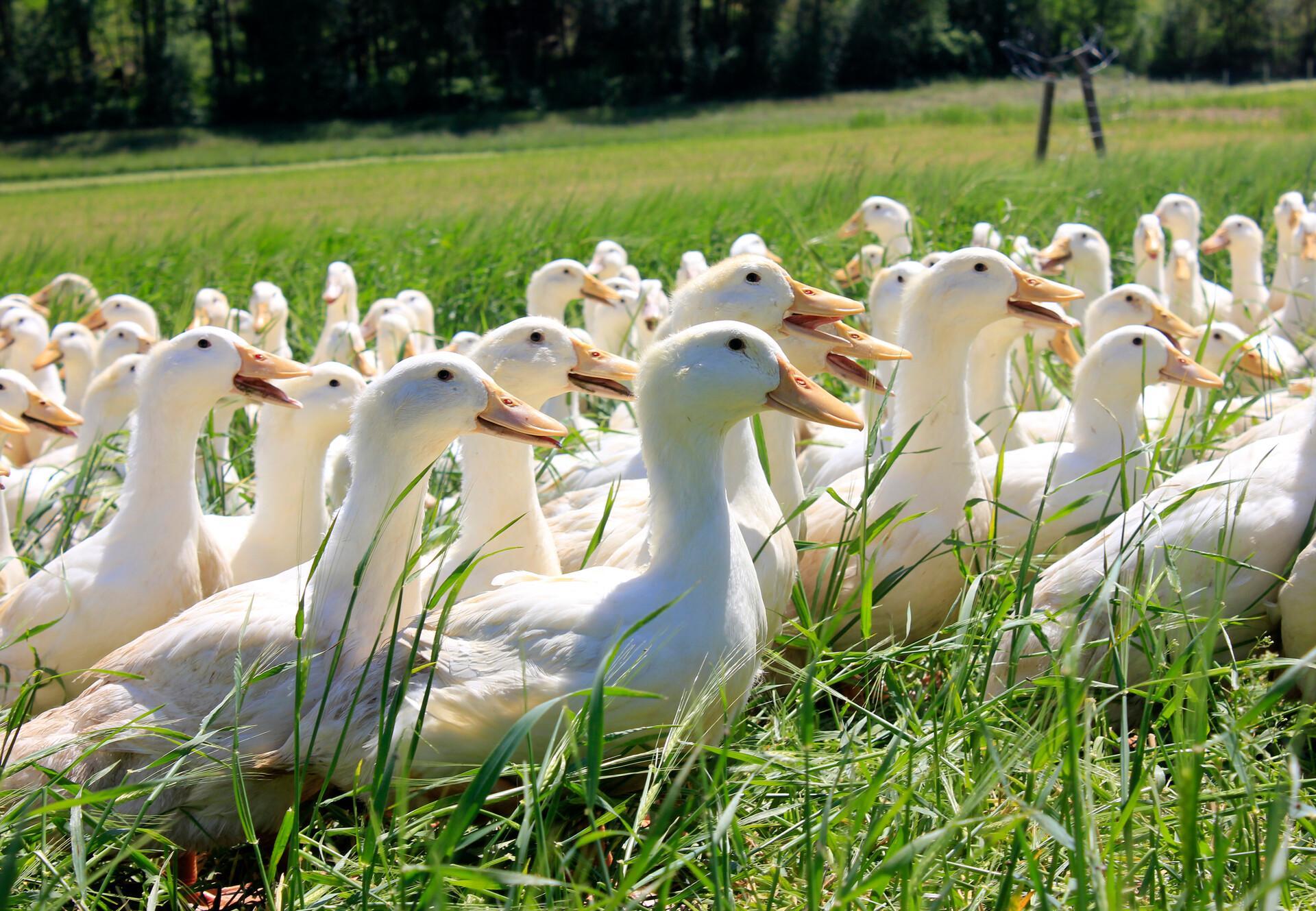 Enten auf der grünen Wiese