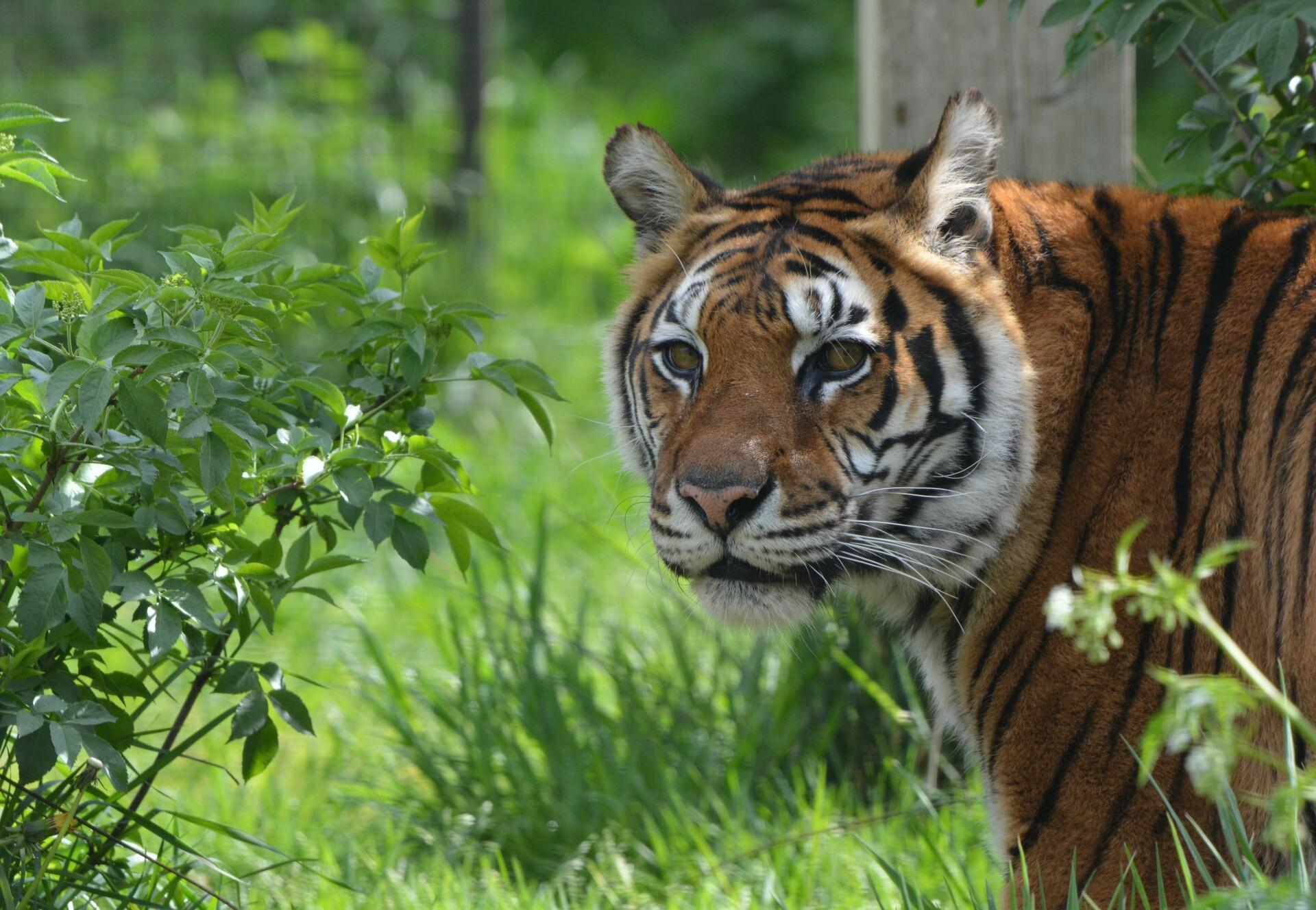 Tiger Jill at TIERART