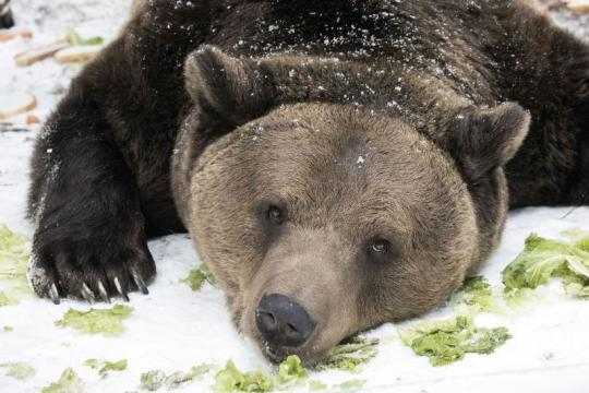 bear-laying-snowy-ground