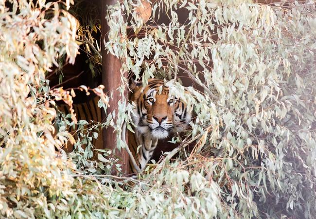 Tiger hidden in bushes