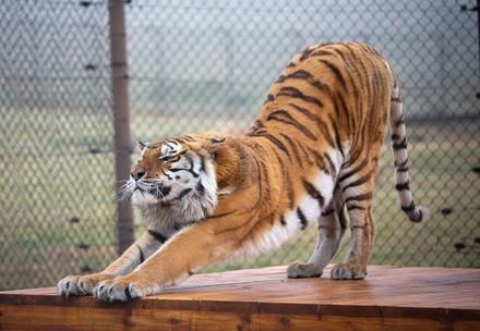 Tigre à LIONSROCK