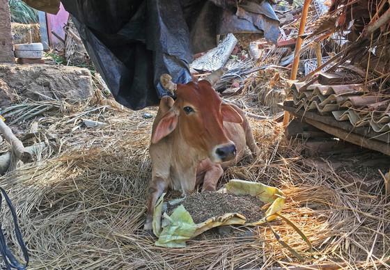 Une vache victime d'un cyclone