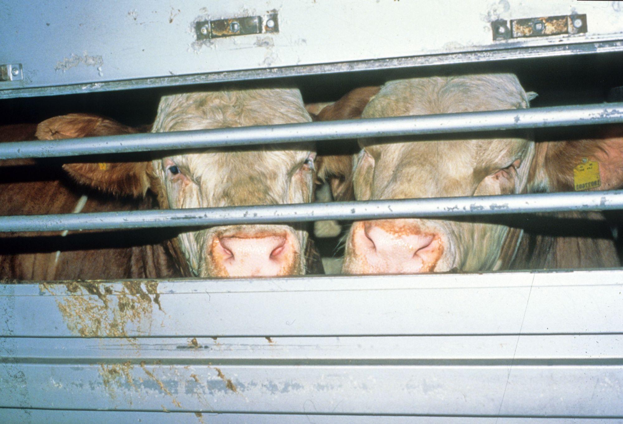 Junge Rinder beim Transport (c) VIER PFOTEN
