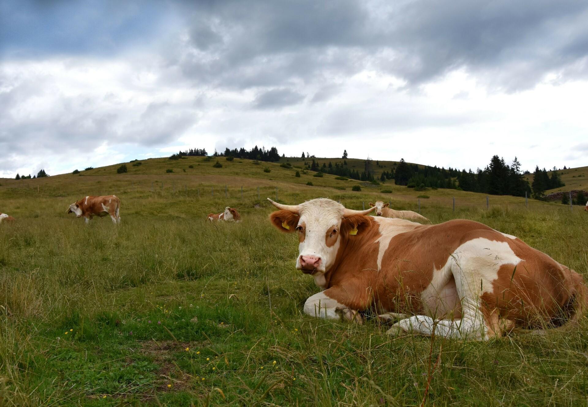 Almochse in Österreich