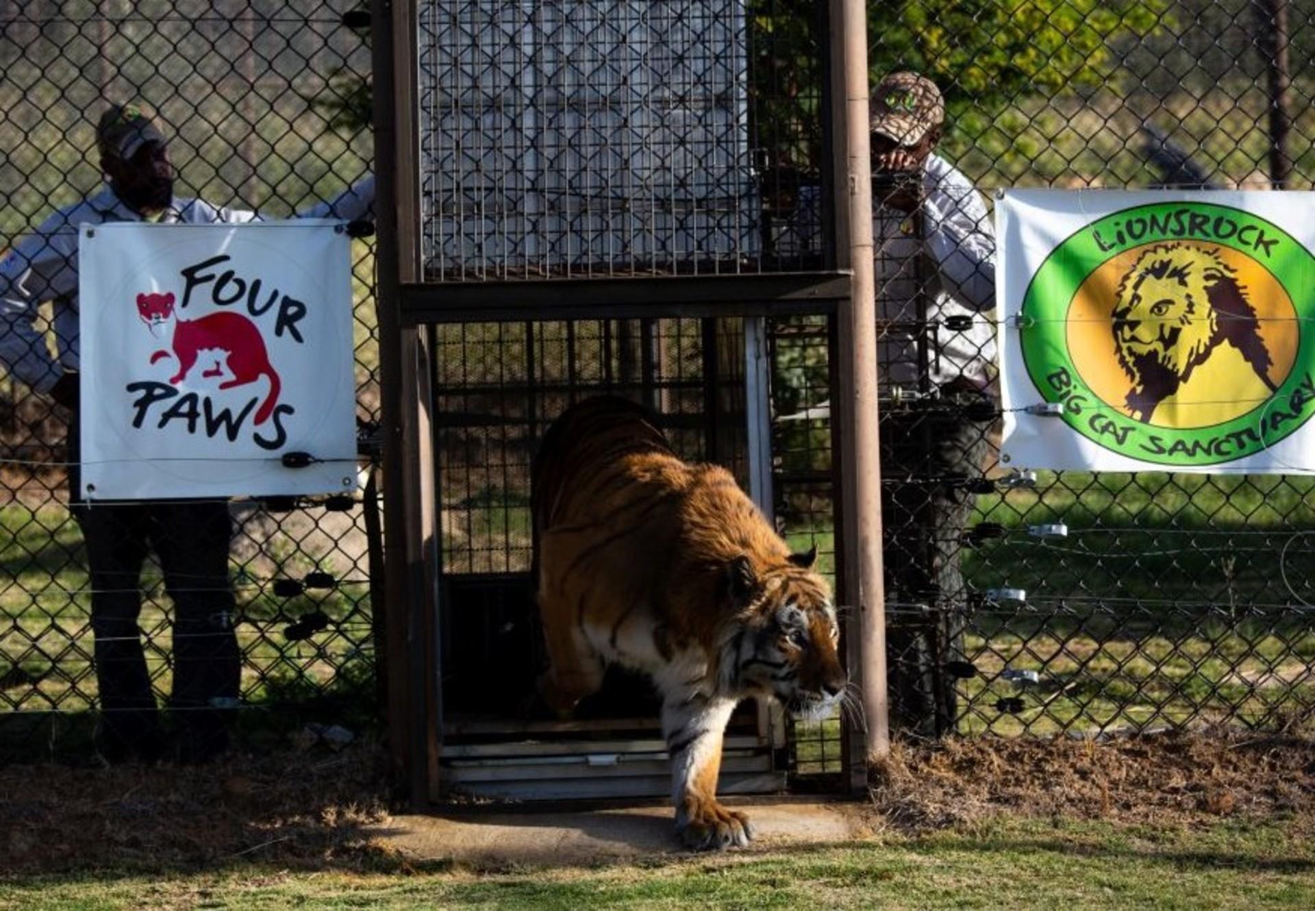 Tiger Caruso bei seiner Ankuft in LIONSROCK (c) VIER PFOTEN
