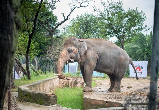 L' « éléphant le plus solitaire du monde »