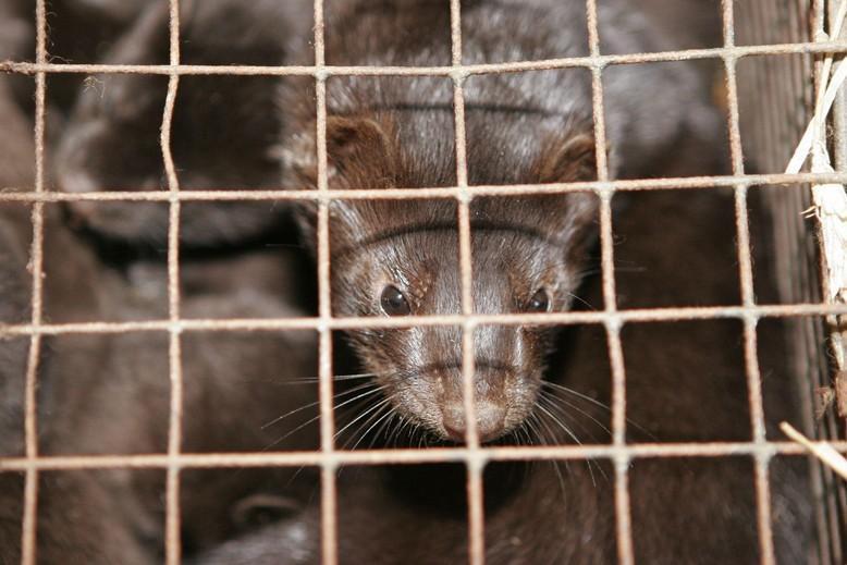 Mink in fur farm