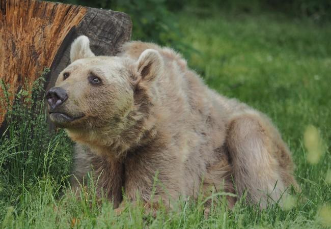 Braunbär sitzt in der Wiese