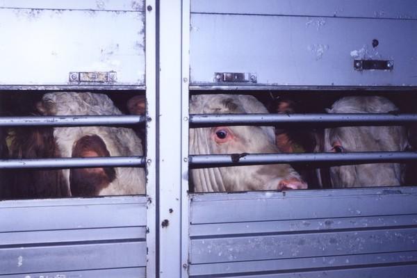 Kühe in einem Viehtrabsporter