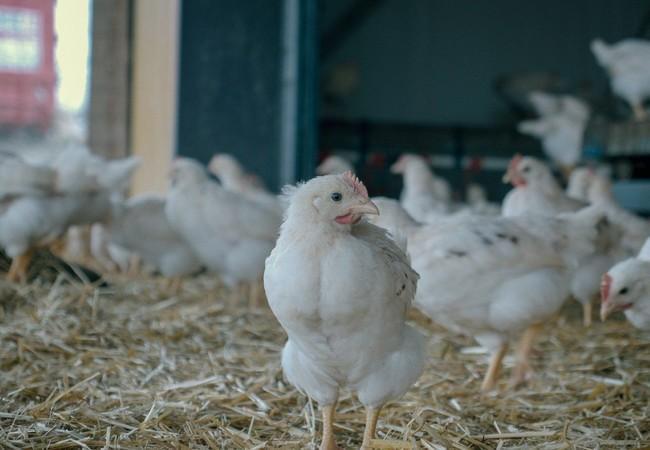 Die Eier werden von den Landwirten per Hand abgenommen