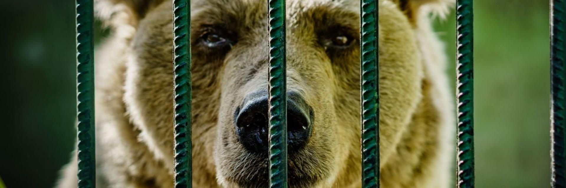 Bären in Kroatien