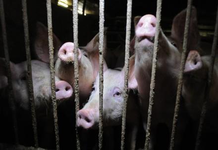 Schweine im Käfig