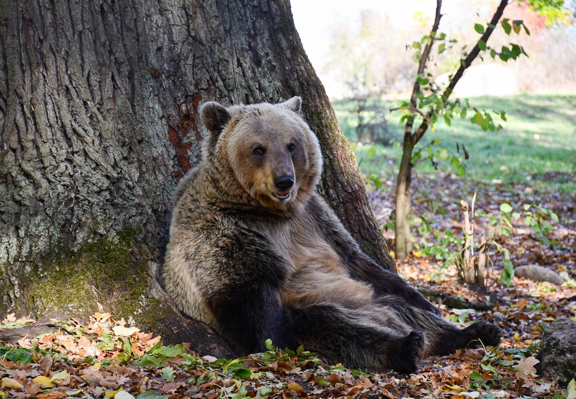 Bear sits comfortably on the tree