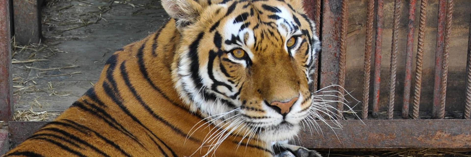 tiger Tsezar