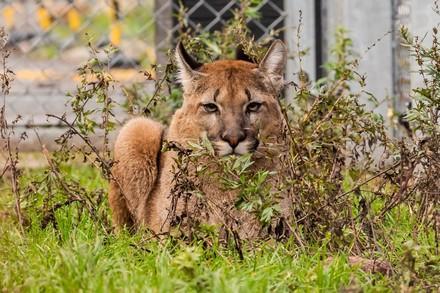 Puma in TIERART