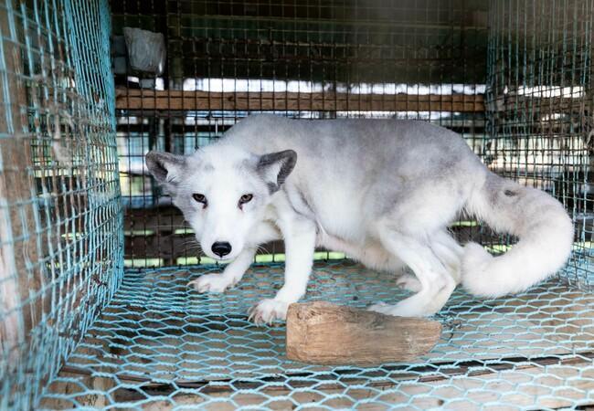 Polarfuchs in einer finnischen Pelzfarm