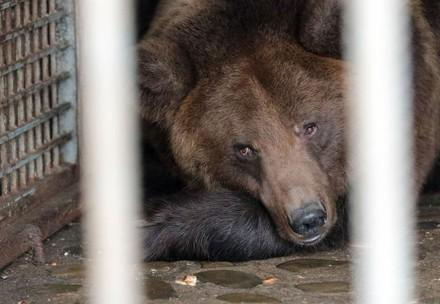 Bear in a cage in the Ukraine