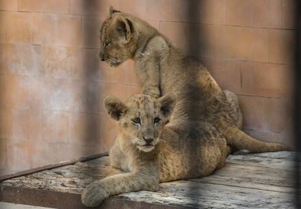Twee leeuwenwelpen in een dierentuin