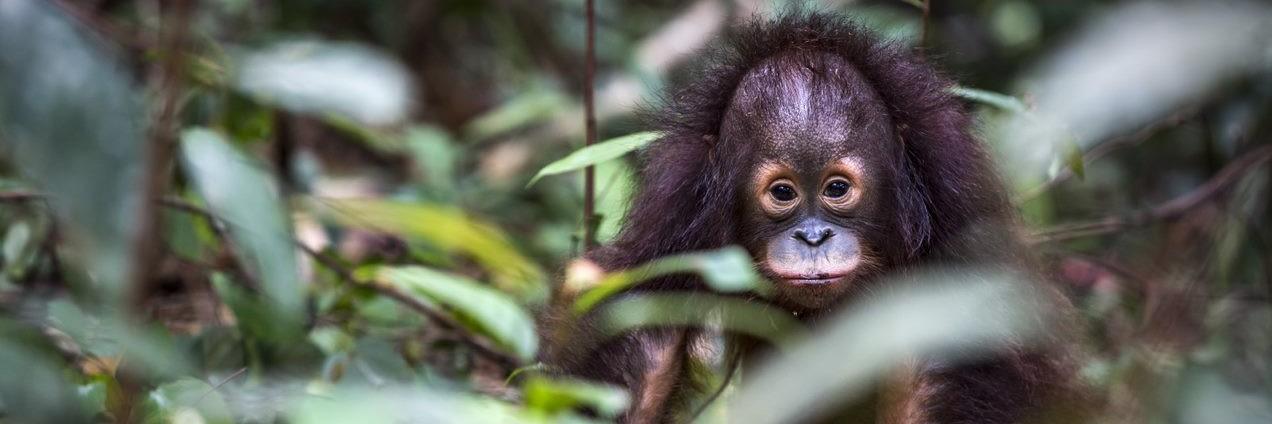 Orang-Utan Tegar in der WALDSCHULE in Borneo