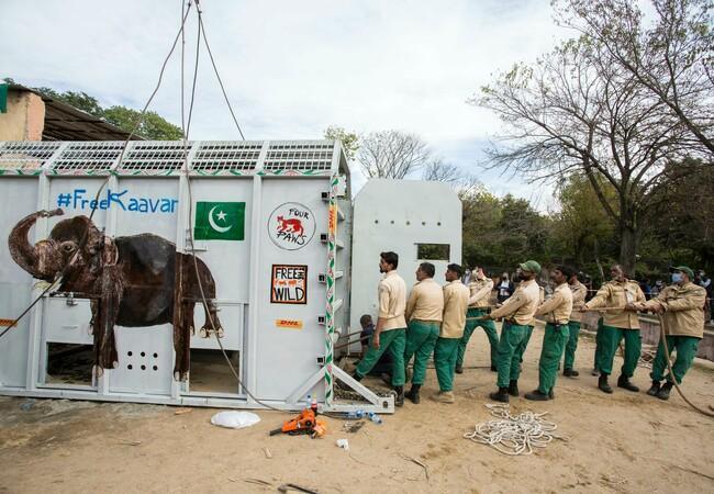 Elefant Kaavan wird in seine Transportbox gebracht