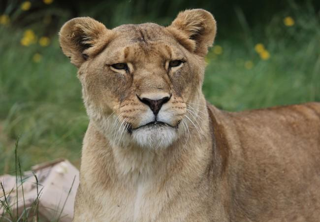Lioness Neida in 2019