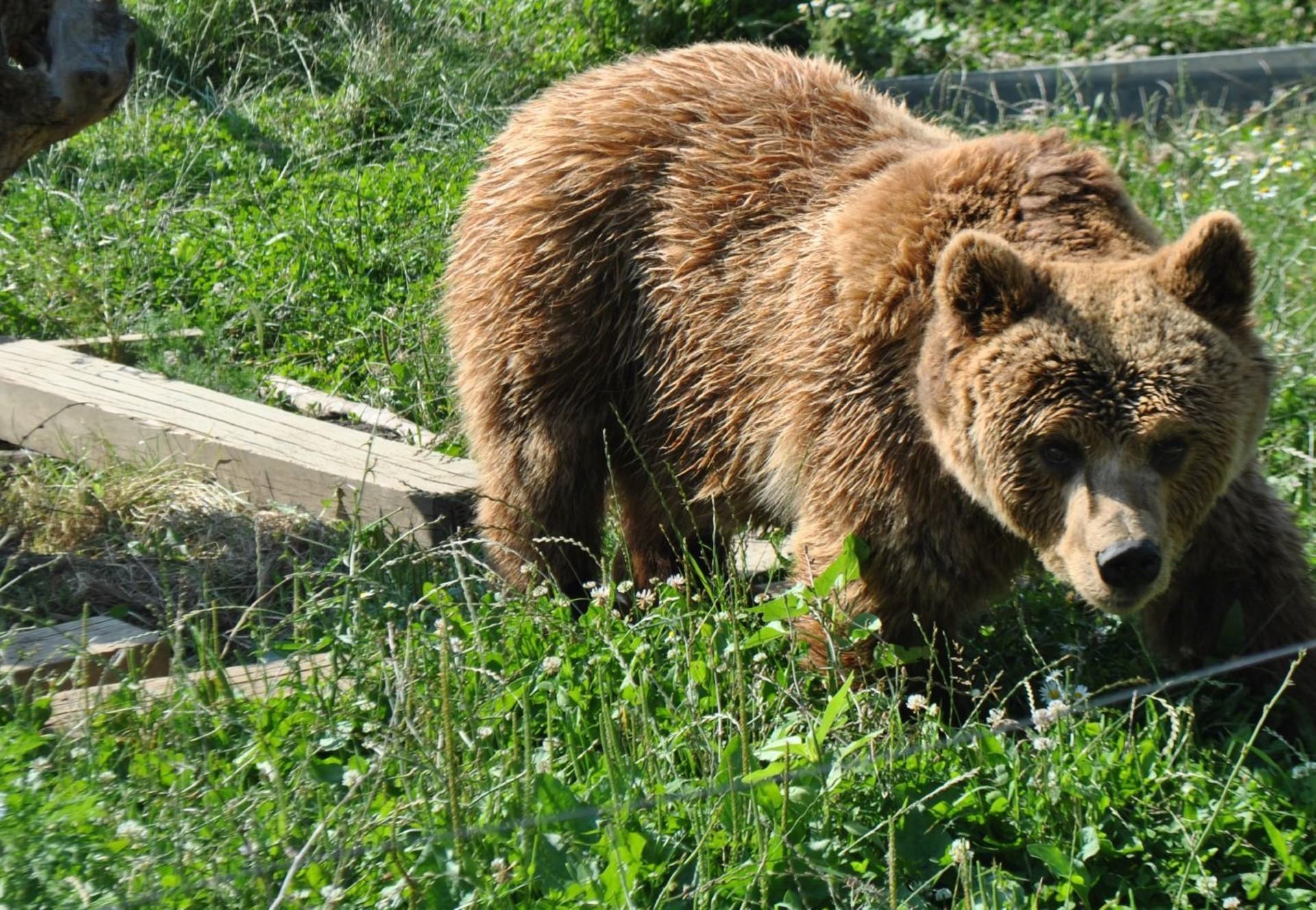 Brown Bear Nala in the grass