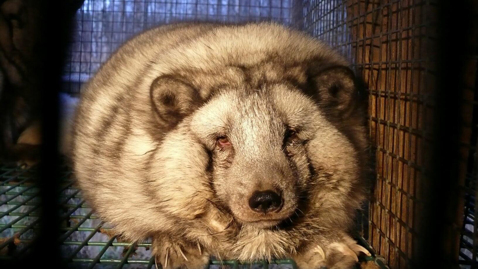 Fox on fur farm