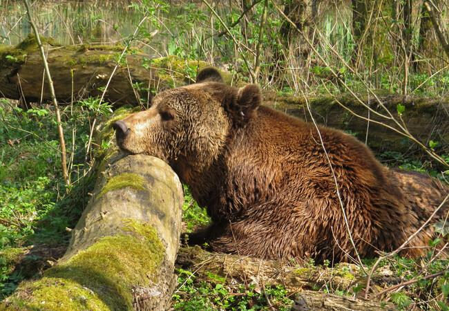 Brown bear Balou resting on a rock