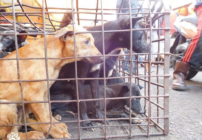 Le triste sort des chiens en Indonésie