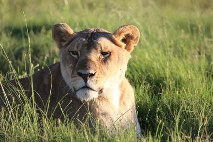 Löwe in Tierschutzzentrum von VIER PFOTEN
