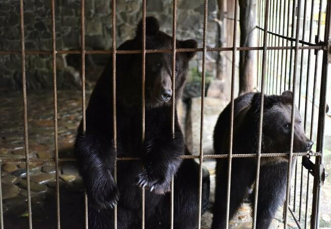 Bears behind bars in a cage
