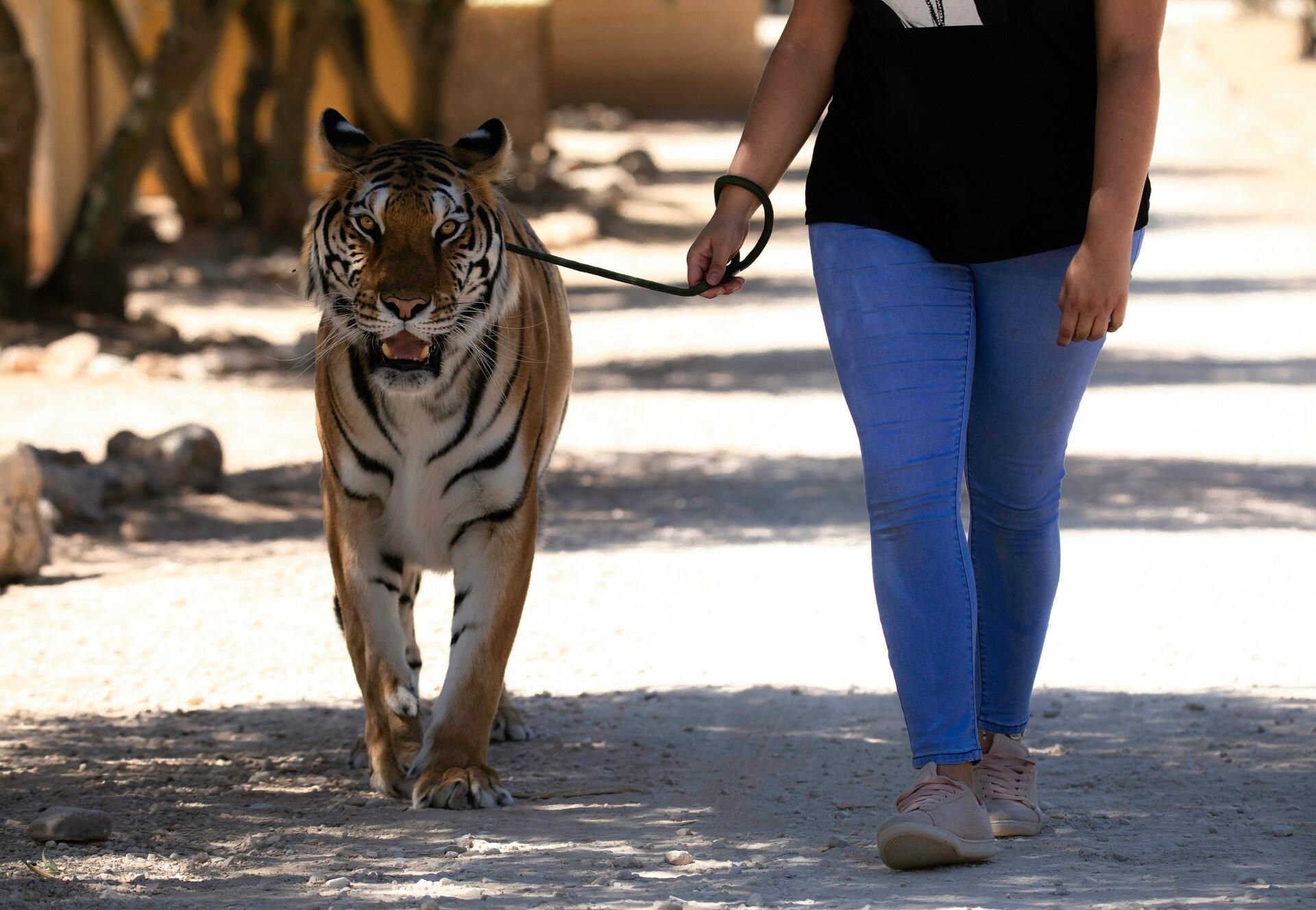 Tiger an der Leine