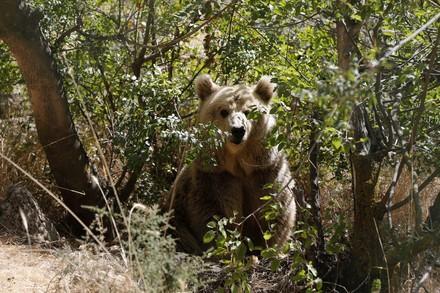 Un ours au sein du refuge d'Al Ma'wa