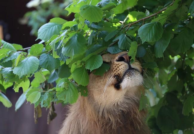 Leeuw Masoud geniet van al het groen