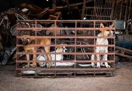 Honden in roestige kooien wachten tot ze gedood worden voor de handel in hondenvlees