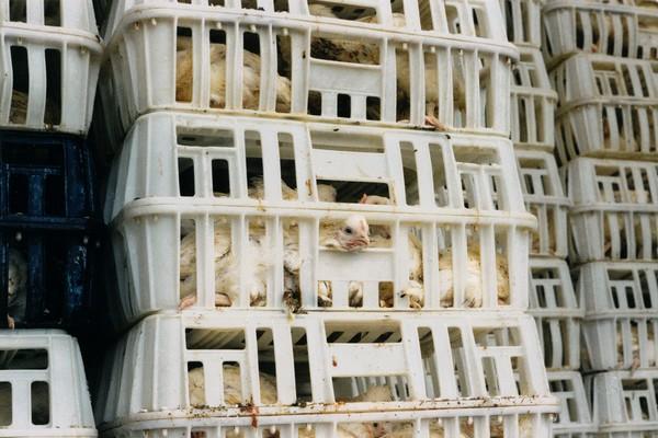 Hühner in viel zu engen Transportboxen