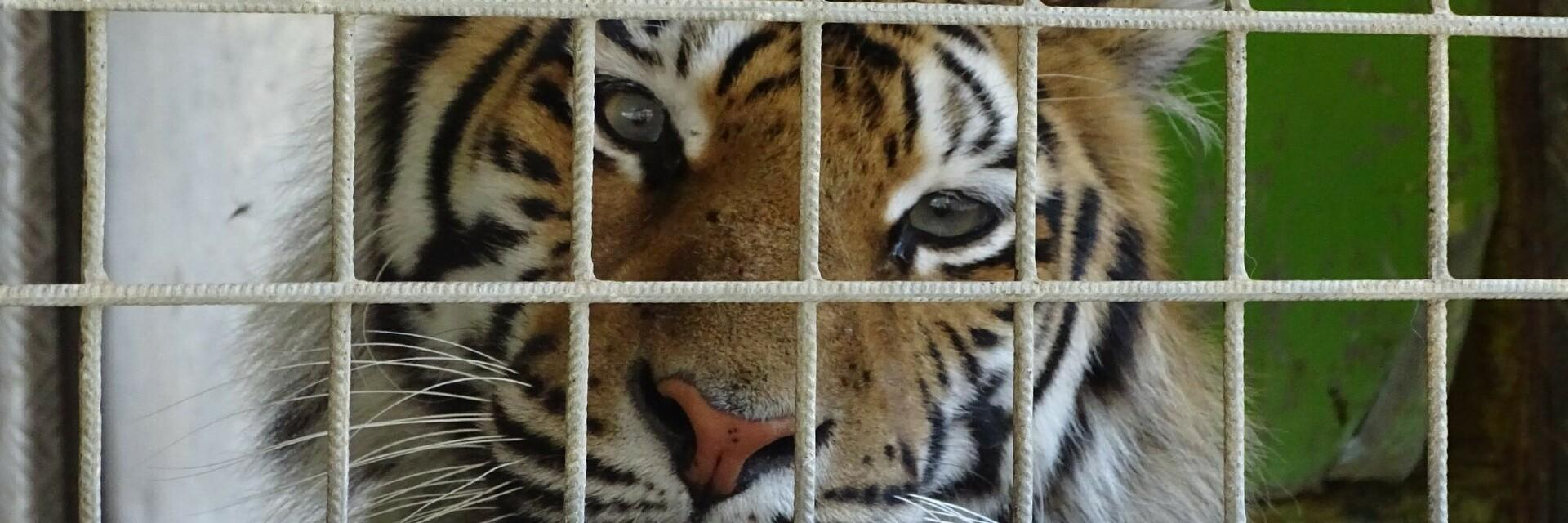 Tigre dans une cage