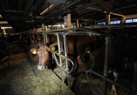 Kühe in einem Stall